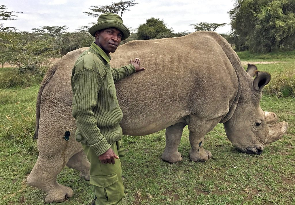 Ranger Zachariah Mutai takes care of Sudan, the world's last male northern white rhino, at the Ol Pejeta Conservancy  in Kenya in this November 2017 photo.