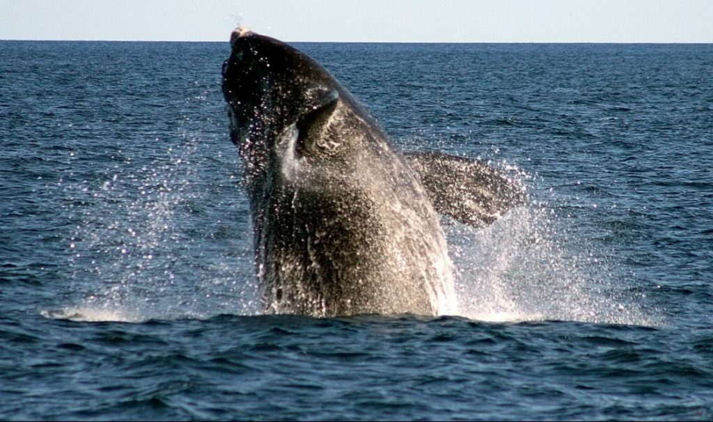 A right whale breaches off Boothbay Harbor. A $700,000 federal grant will help determine how much fishing gear entanglement and ship strikes are contributing to the species' rising mortality.