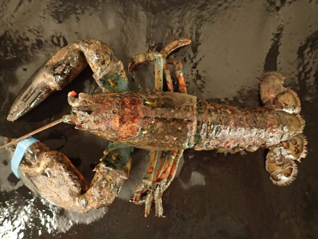 Epizootic shell disease is apparent on this lobster. The disease is slowly increasing off the Maine coast.