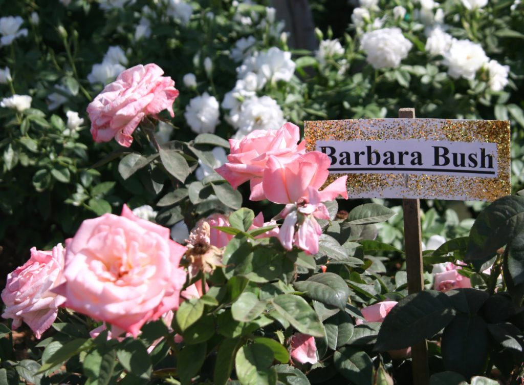 The bush was named in the former first lady's honor by Jackson & Perkins, a mail-order rose growing company dating to the 1870s.