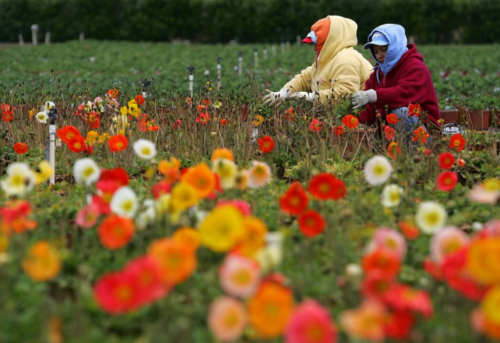 Migrant workers tend a field of flowers in Salinas, Calif. Some business owners say they cannot remain profitable without foreign labor, especially during their busy seasons.