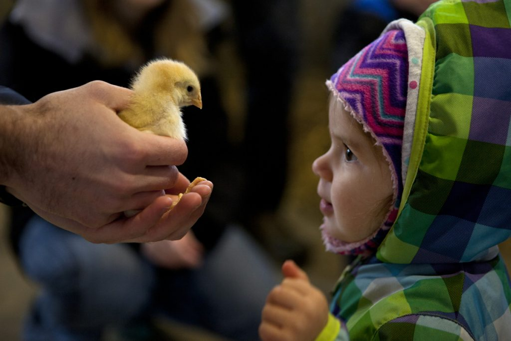 Natalie Daigle of Yarmouth, 1, meets a chick held by Nathan Cross, an educator at Wolfe's Neck Center, during the First Time Farmers program at the center in Freeport on April 15. The program, for children 3 and younger, introduces participants to the animals and the farm where they get to try out chores and help collect eggs.