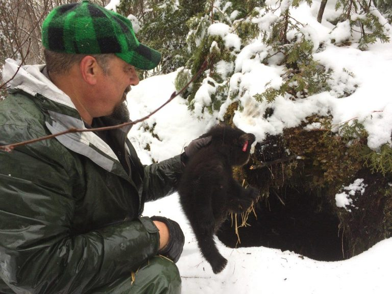 Biologist Randy Cross of the Maine Department of Inland Fisheries and Wildlife places the cub at the mouth of a bear den.