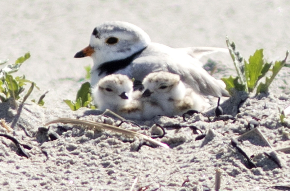 Holes in beach can be dangerous to piping plovers | Journal Tribune