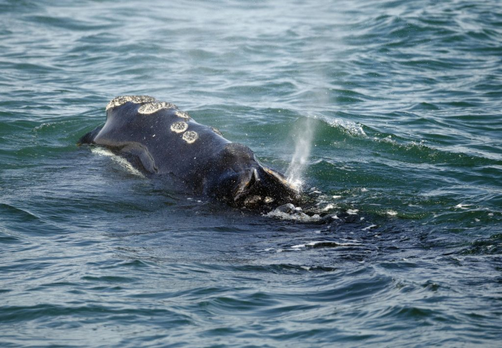 A North Atlantic right whale feeds on the surface of Cape Cod bay off the coast of Plymouth, Mass., in 2018.