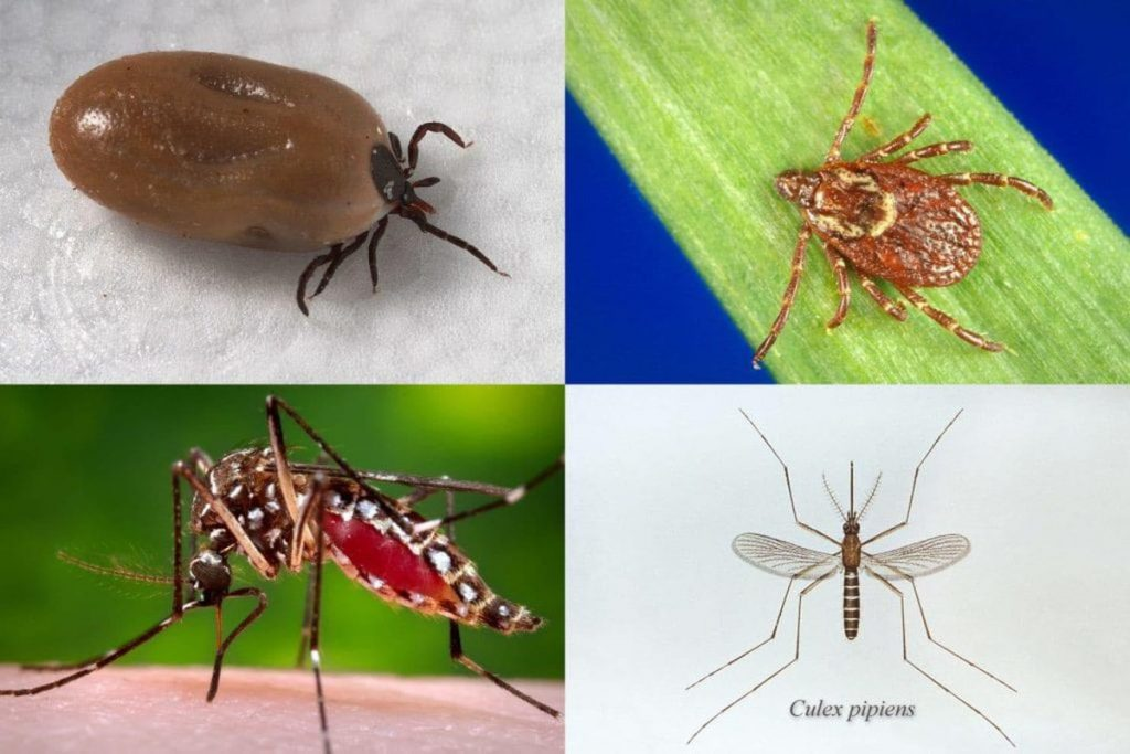 Clockwise from top left: The deer tick, which transmits Lyme disease; the American dog tick, which transmits Rocky Mountain spotted fever and tularemia; the Culex pipiens mosquito, which transmits West Nile virus; and the Aedes aegypti mosquito, which transmits Zika, dengue and chikungunya.