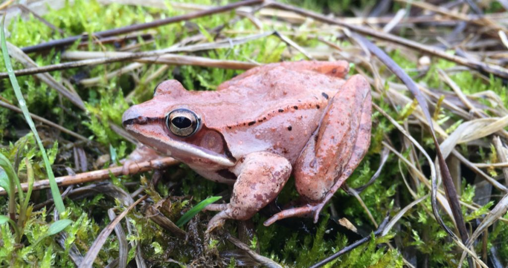 A common wood frog sits on a forest floor in Ohio last April, after spending the winter frozen solid.