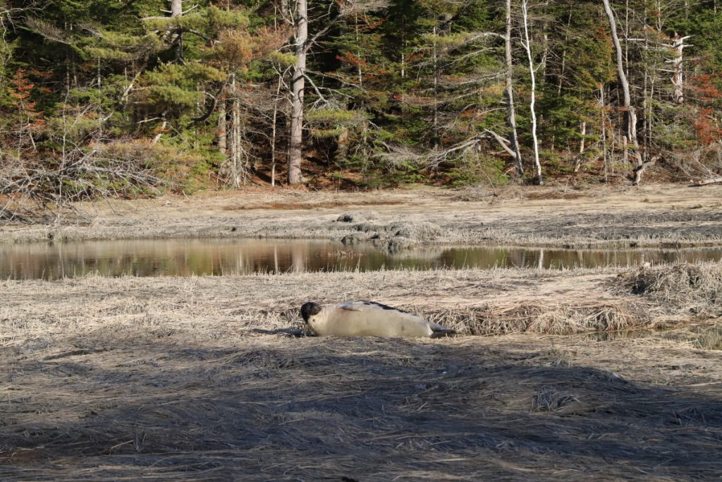 An adult bull harp seal, possibly lost and needing rest, sighted in Freeport last month.