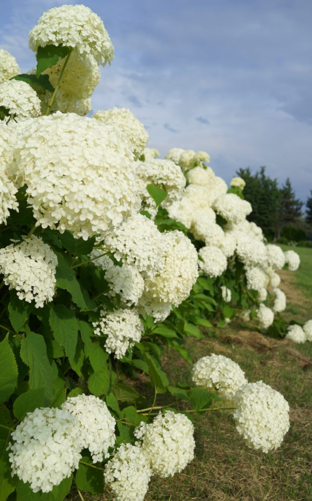 "The problem with ""Annabelle"" hydrangea? It flops."