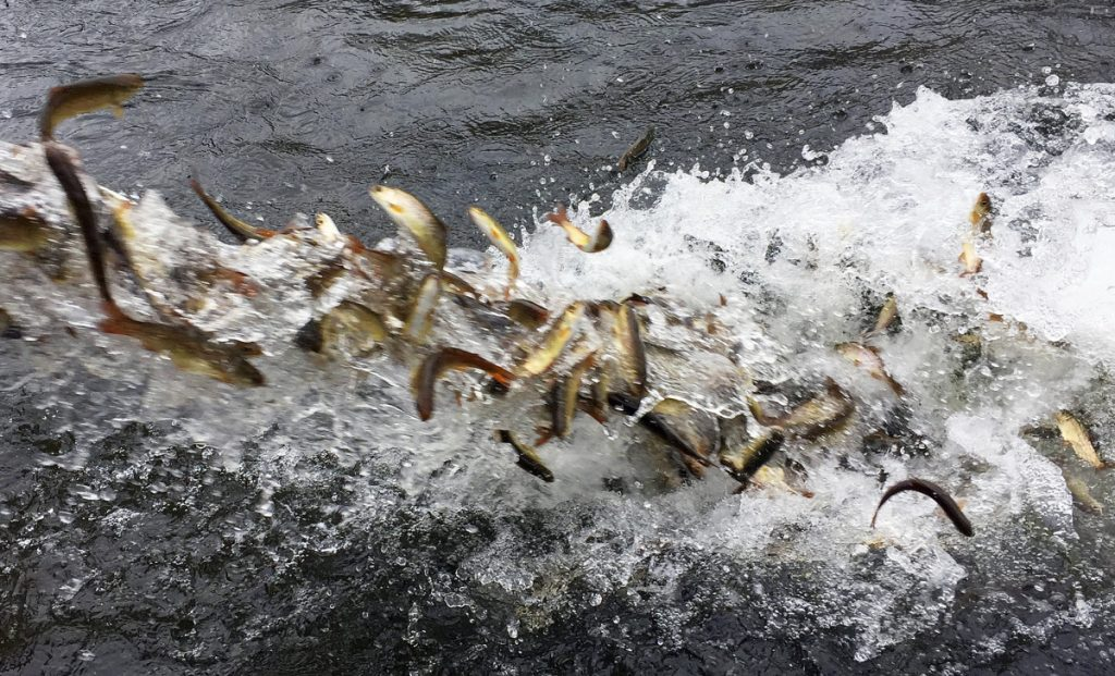 Hundreds of juvenile coho salmon are released into the Lostine River in northeastern Oregon in March 2017. One stock of Coho salmon was removed from the overfishing list, but another stock of the same fish was added to the same list.