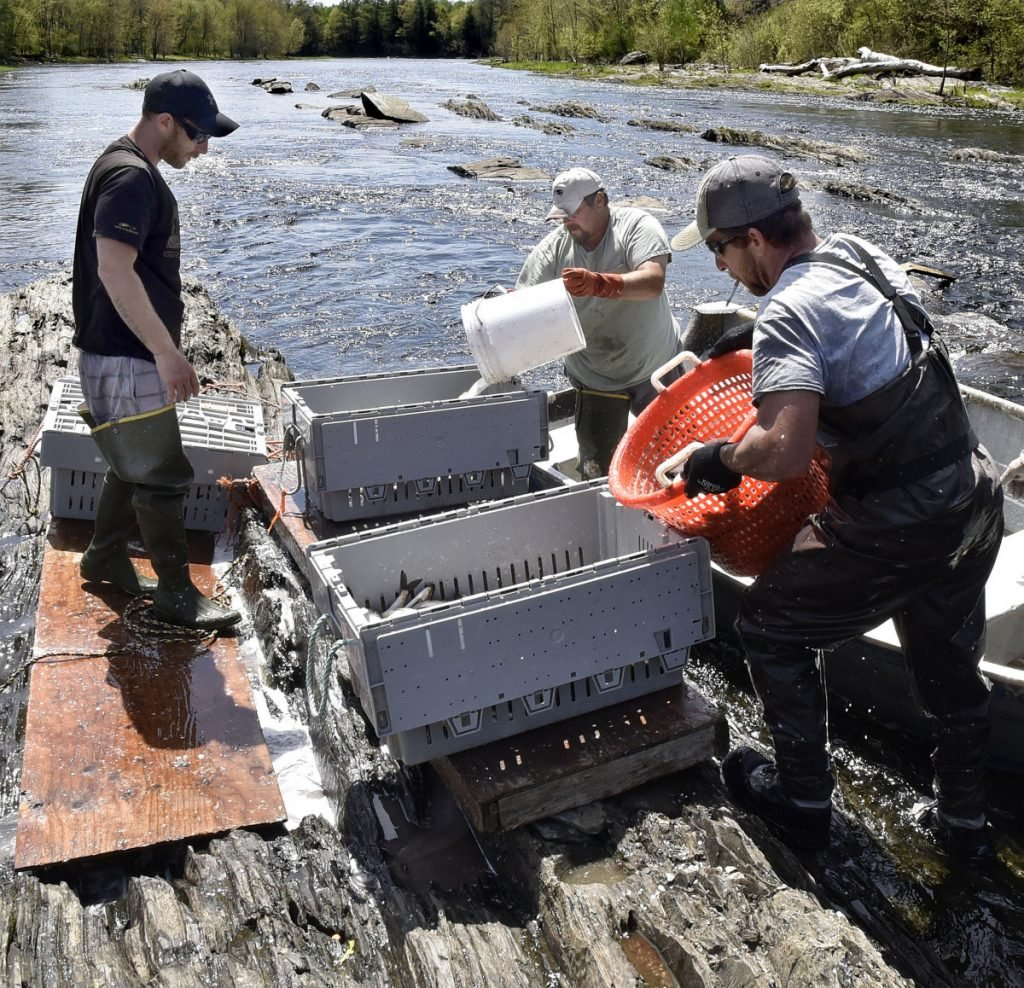 From left, Ryan Schultz, Harlan Simmons and Thomas Keister fill crates with alewives harvested below the Benton Falls dam Wednesday.