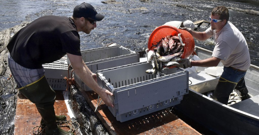 Ryan Schultz, left, steadies a crate Wednesday as Ernie Wallace fills it with alewives netted below the Benton Falls dam.