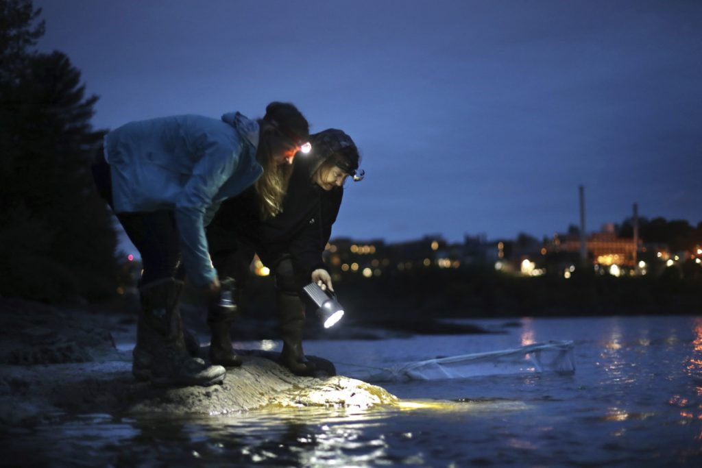 Licensed eel fishermen Jessica Card, left, and Julie Keene use flashlights to watch for elvers from the banks of the Penobscot River after setting a net in Brewer in 2015.