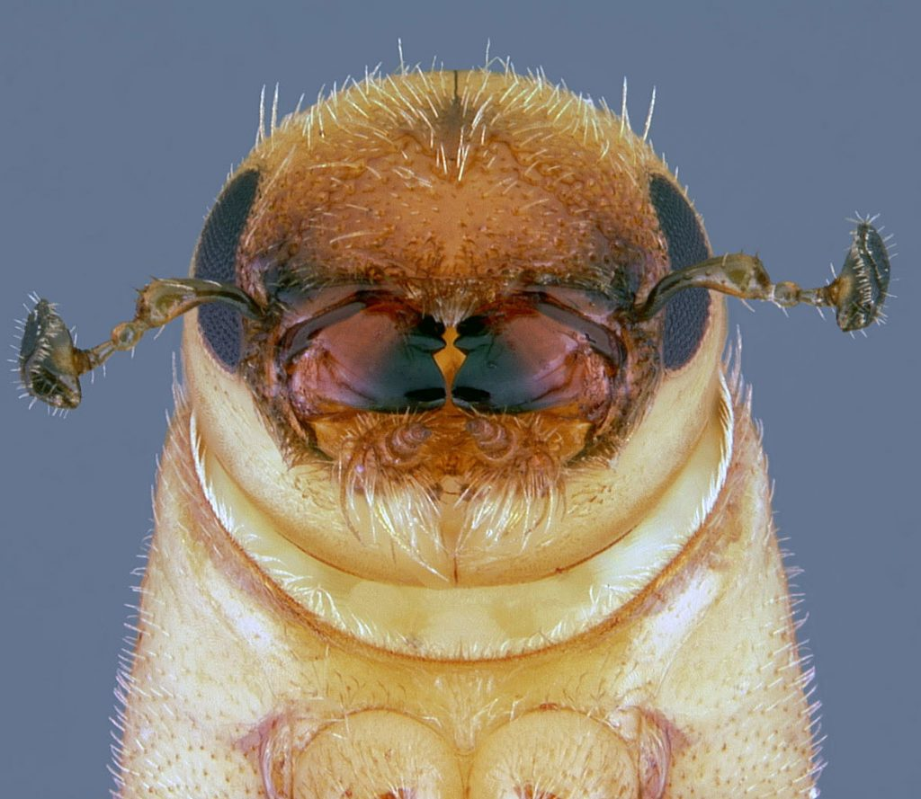 A southern pine beetle nears completion of its metamorphosis into an adult at Kisatchie National Forest in Louisiana.