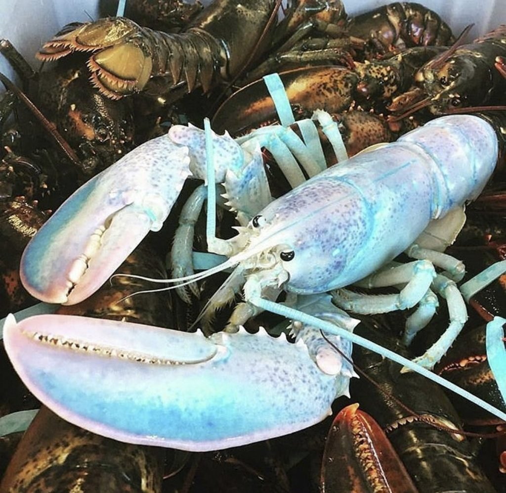 Robinson Russell, a Canadian lobsterman, posted this photo of a white lobster on Instagram back in early December, soon after he caught it. This week it was reposted on Instagram in Maine.  The lobster is still on display at an aquarium in St. Andrews, New Brunswick.