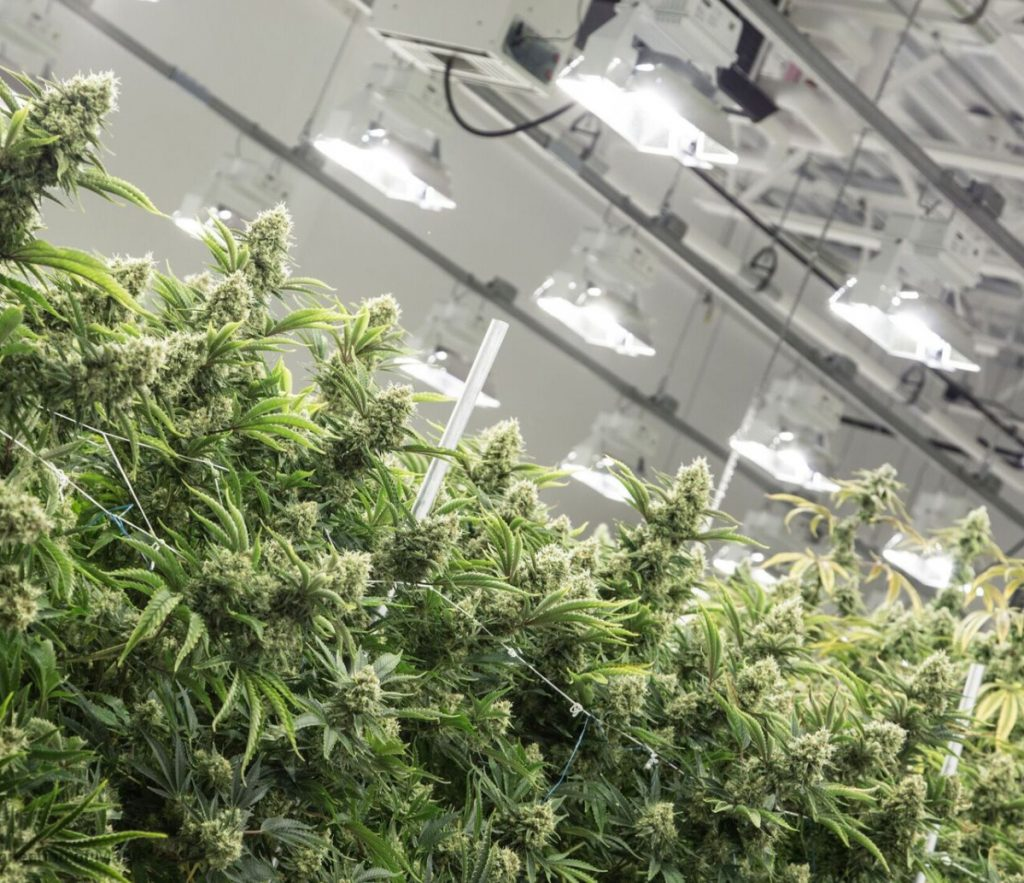 Plants thrive in a well-lit grow room at Wellness Connection's Auburn facility. Efficiency Maine's decision did not surprise the cannabis company's CEO.