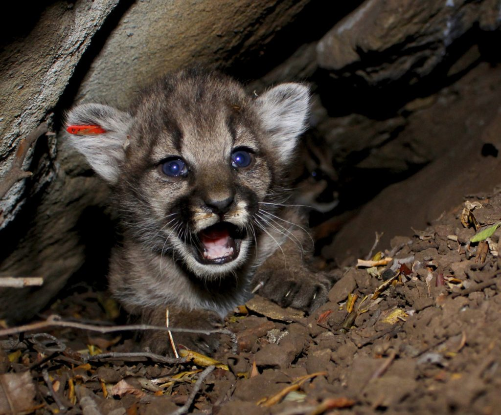 This mountain lion kitten, its ear tagged for tracking, is one of four recently found in a den in Southern California by researchers studying how cougars survive in fragmented wilderness areas.