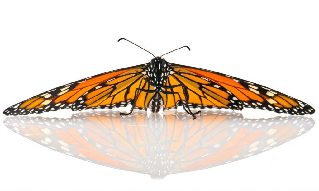 A mosaic of orange and black, monarch butterflies appear delicate, but manage to migrate thousands of miles.