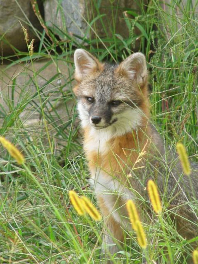 Photo courtesy of Maine IF&W   Gray fox are commonly found in southern and central Maine, according to the Maine Department of Inland Fisheries and Wildlife. Game wardens searched in Monmouth Monday for a gray fox that is believed to be rabid.