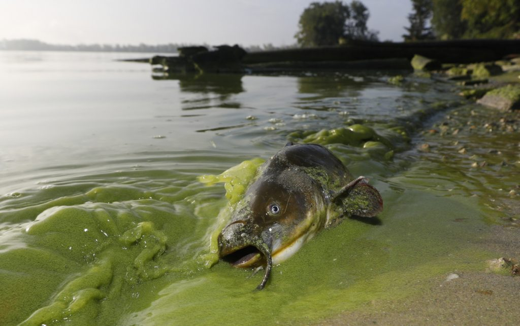 A catfish lies on the shoreline in September of algae-filled Lake Erie in Toledo, Ohio, where a major bloom in 2014 caused authorities to warn people against drinking tap water.