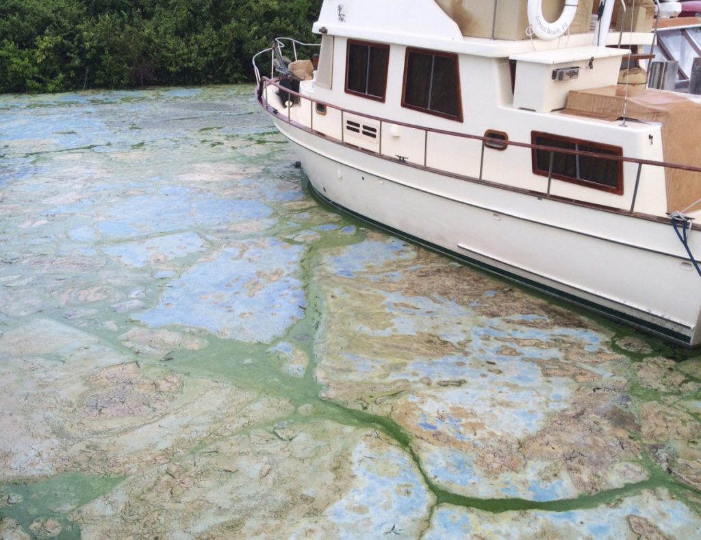 Algae coats the water in Stuart, Fla., in 2016.