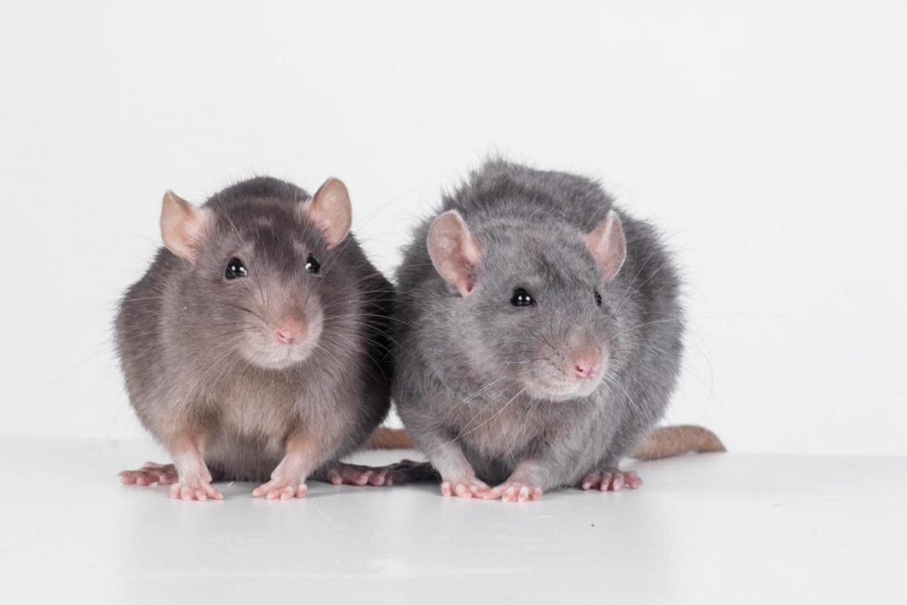 worried about rats near your home we ve got answers portland
