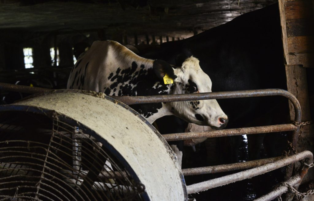 As temperatures reach near 90 degrees, cows at Miller Farm Inc., in Vernon, Vt., are brought into the cool areas of the farm as fans keep fresh air moving.