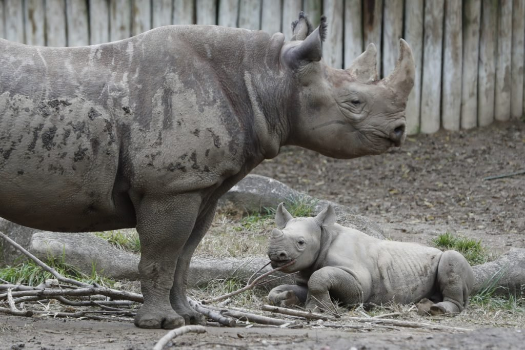 Kendi, a 1-year-old eastern black rhinoceros and his mother are seen at the Cincinnati Zoo and Botanical Garden. Conservationists are working hard to protect the species, which has been threatened by poaching and habitat decline.