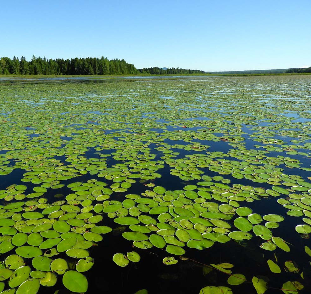 Vast patches of watershield float on the sides of the waterway during a paddling journey to one of Maine's numerous hidden wonders, the boreal gem of Shirley Bog, seven miles south of Moosehead Lake.