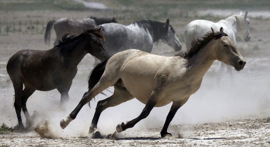 Wild horses kick up dust as they run at a watering hole outside Salt Lake City. Federal land managers have begun emergency roundups in the deserts of western Utah and central Nevada.