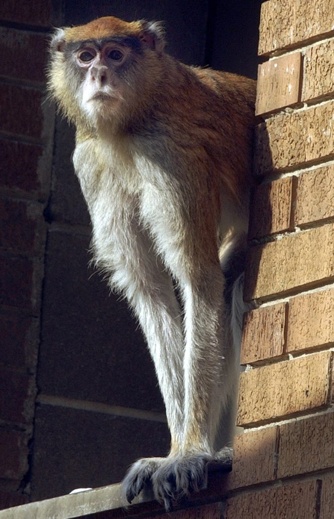 "Dartmouth researchers said the protagonist of ""The Lorax"" and the Truffula trees may have been based on the patas monkey species and the whistling thorn acacia tree."