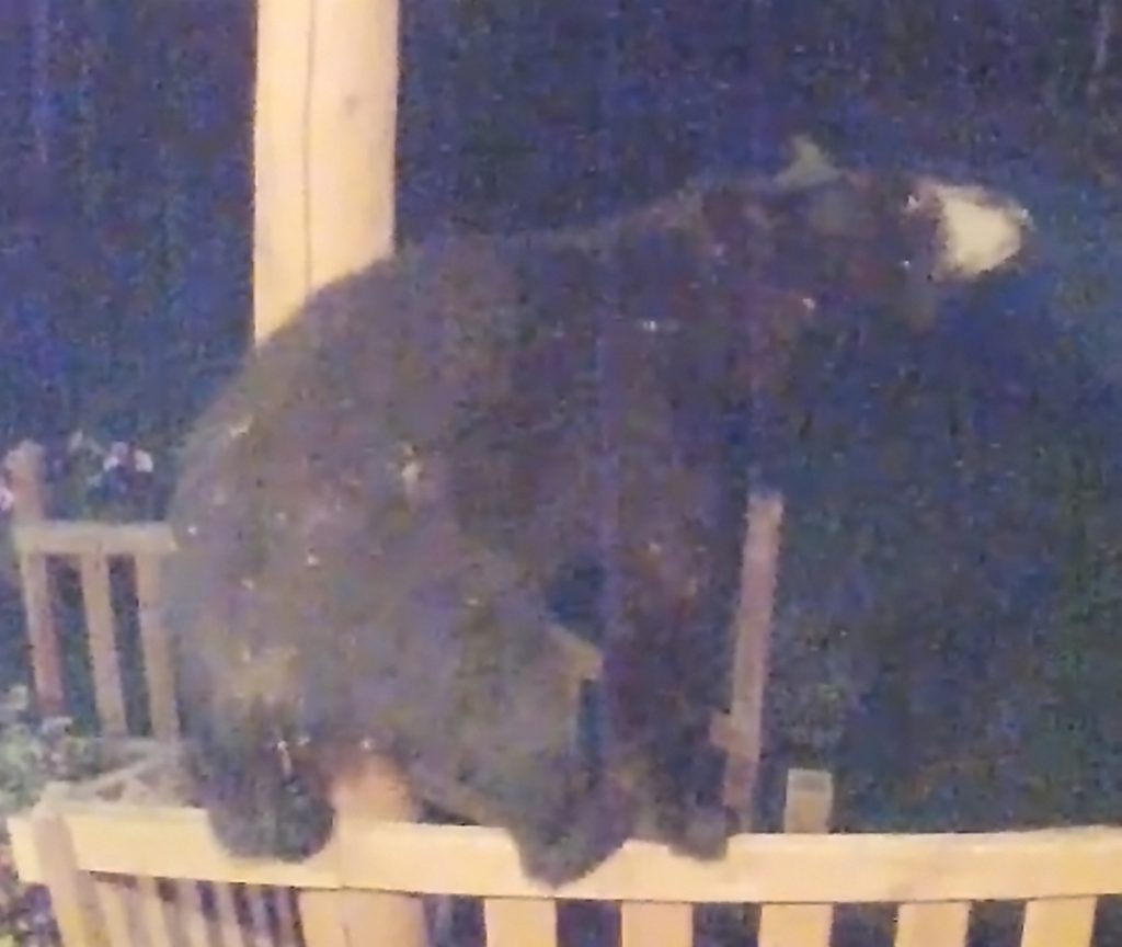 A Black bear is caught on video climbing a porch at a home on Pullen Road in Augusta early Tuesday morning.