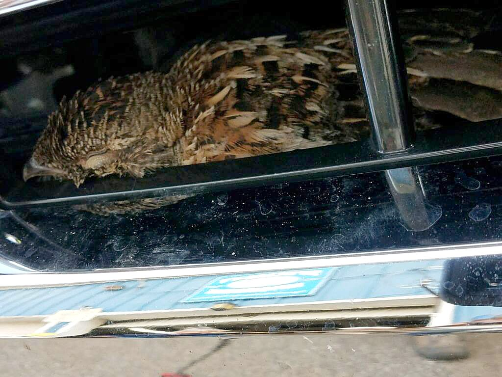 A hawk was trapped in the grill of an Auburn man's pickup truck. The front end of the pickup needed to be dismantled to free the bird.