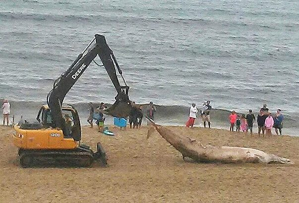 The Carc Of An Male Minke Whale Is Removed From Old Orchard Beach Monday Morning It Was Second Large Marine Animal To Turn Up On S In