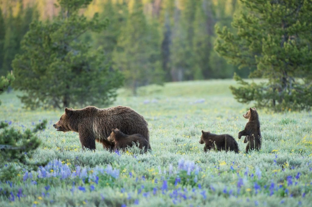 A grizzly bear known as 399 wanders with her cubs near Pilgrim Creek in Grand Teton National Park, Wyoming.