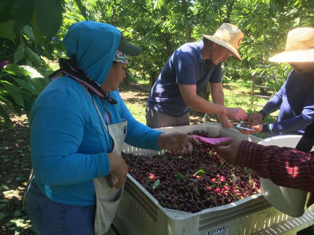 Sean Gilbert, center, checks the size of cherries at his family's orchard while workers join in the harvest of the high-value, fragile crop. Gilbert Orchards has long recruited most of its workers from central Washington. This year, it also is bringing in 40 guest workers from Mexico, but other farm operations aren't so fortunate.