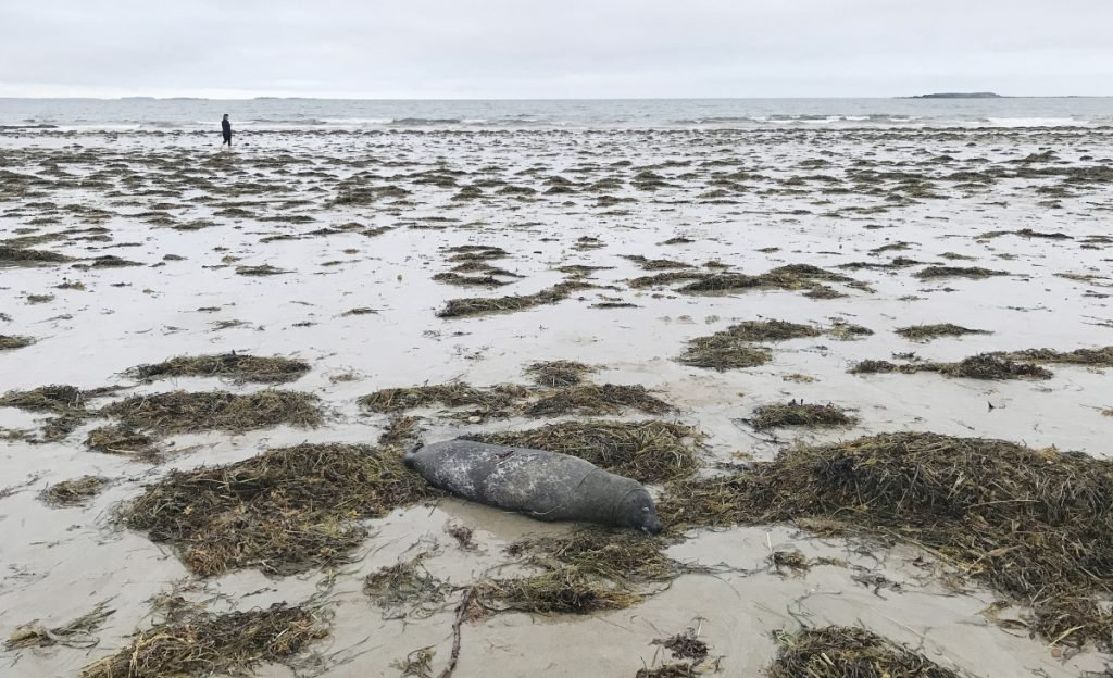 A dead seal on the shore at Bayview Beach in Saco on Sunday. This was one of several dead seals reported on the beach over the past two days.