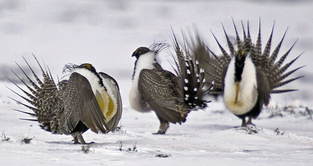 Sage grouse males perform mating rituals on a frozen lake near Walden, Colo, in 2013. They were once millions of the birds across the U.S. West, but development has cut that number to 200,000 to 500,000, scientists say. FILE - In this April 20, 2013 file photo, male greater sage grouse perform mating rituals for a female grouse, not pictured, on a lake outside Walden, Colo. Some Western governors say a new Trump administration directive threatens to undermine a hard-won compromise aimed at saving a beleaguered bird scattered across their region. The directive, issued in late July 2018, severely limits a type of land swap involving federal property. Critics say that eliminates an important tool for saving habitat for the shrinking population of greater sage grouse. (Associated Press/David Zalubowski, File)