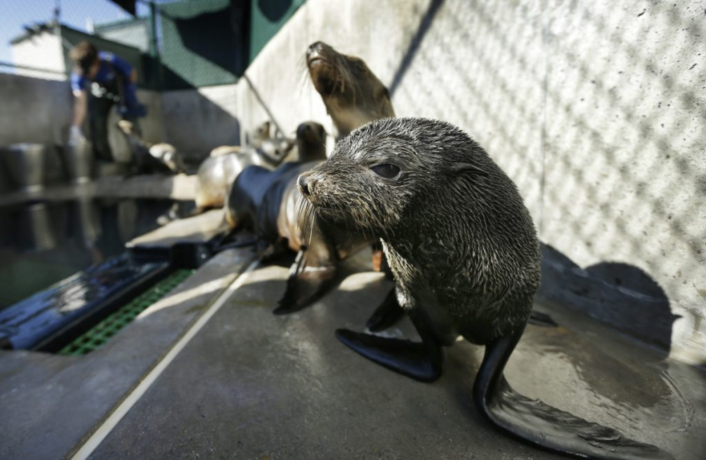 A Guadalupe fur seal, foreground, passes by as a California sea lion is fed at a rescue facility in San Diego.