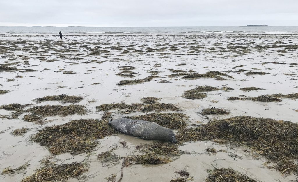 A dead seal lies on the shore at Bayview Beach in Saco on Aug. 12.