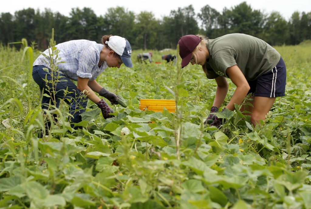 Erin McNally, 21, of Raymond, left, and Makayla Gwinn, 19, of New Gloucester, pick cucumbers on Monday at Pineland Farms.