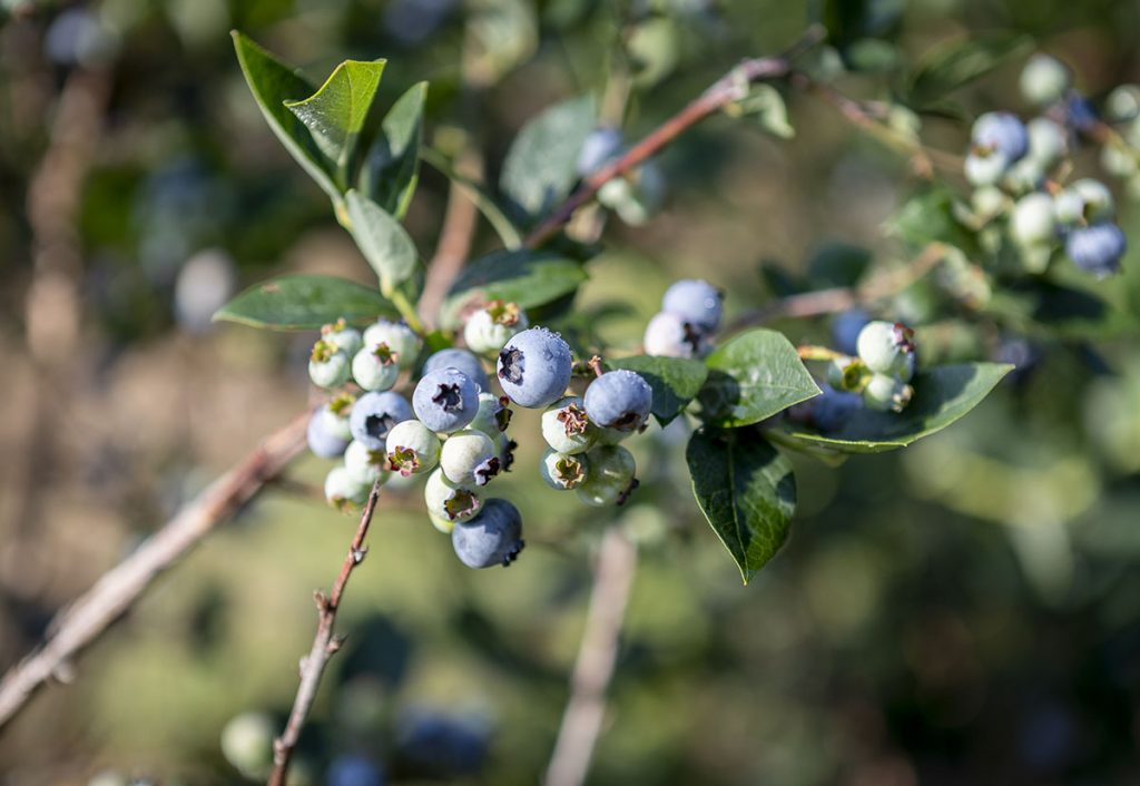 Blueberries are seen at Fairwinds Farms Monday, Aug. 6, 2018 in Bowdoinham.