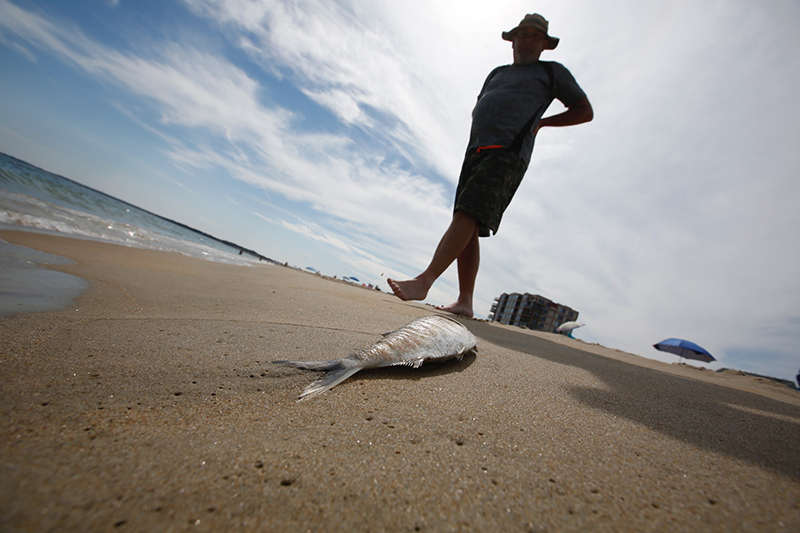 "Rick Martin walks by one of the fish that washed up on Old Orchard Beach on Friday afternoon. Martin, of Northampton, Massachusetts, said the fish didn't deter him from swimming. ""It seems like a natural occurrence,"" he said."