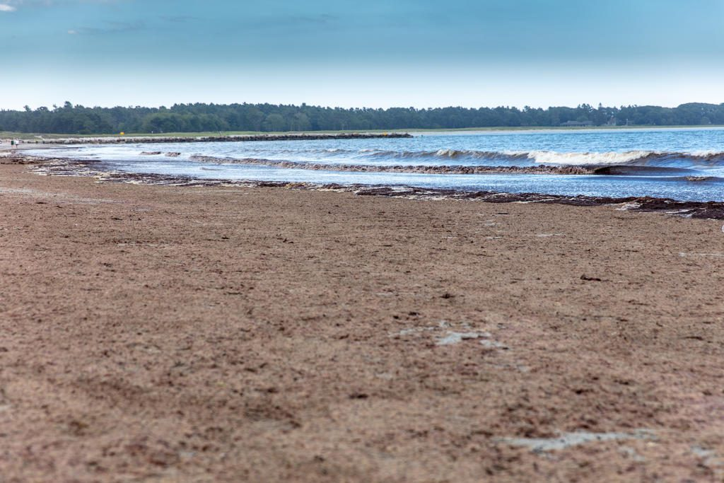 The Asian red algae that covers the beach at Pine Point has a noxious odor.