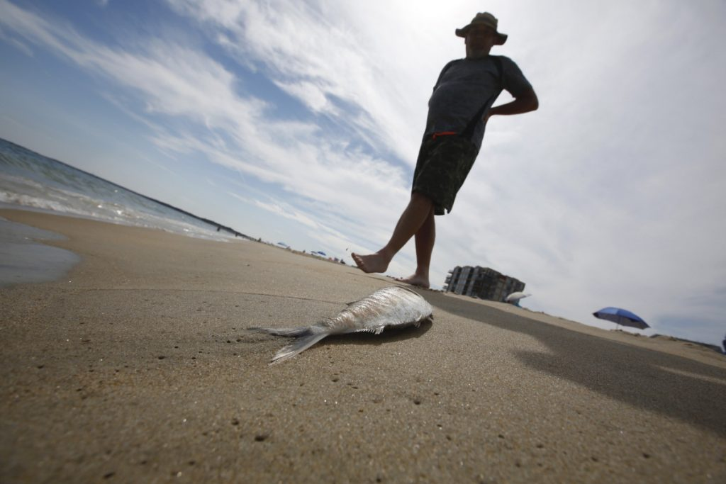 Rick Martin of Northampton, Mass., walks past one of the hundreds of menhaden that washed up on Old Orchard Beach on Friday. The Maine Marine Patrol cites commercial fishing and predation in the die-off that continued Saturday.