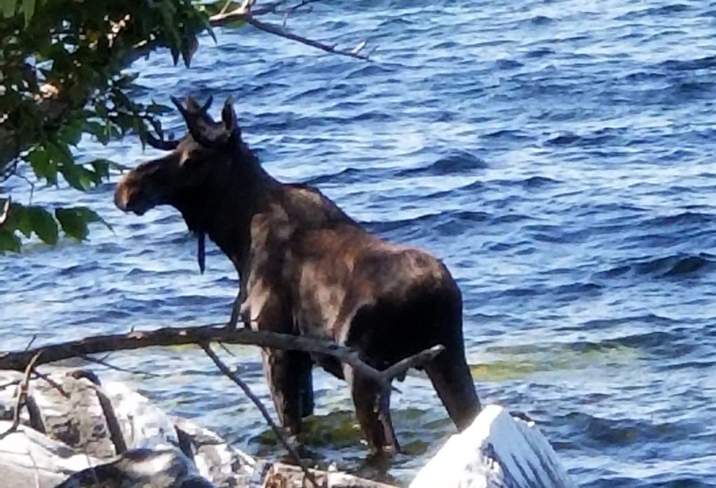 A moose stands in Lake Champlain in South Hero, Vt., on Saturday. Wildlife officials say the animal had crossed the lake and made it to shore, but went back in the water after likely feeling threatened by onlookers and drowned.