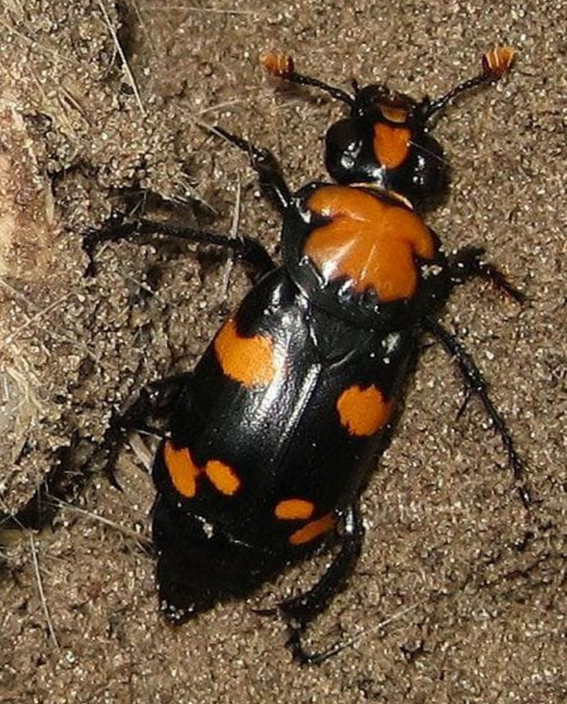 For decades, the  American burying beetle has been a bugaboo for farmers in Nebraska and oilmen in Oklahoma.