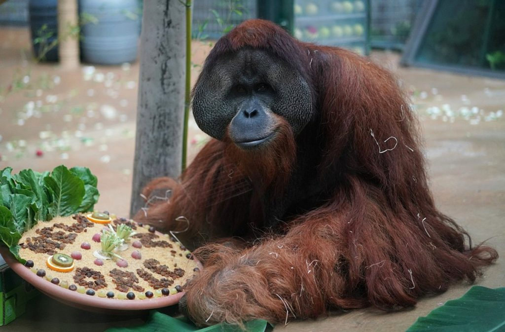In this Aug 31, 2018 photo provided by the Audubon Nature Institute, orangutan Jambi gets a farewell treat at the Hannover Zoo in Hannover, Germany. Jambi is leaving Hannover for Dallas, where he'll spend a month in quarantine before moving on to the Audubon Zoo in New Orleans. (Hannover Adventure Zoo/Audubon Nature Institute via AP)