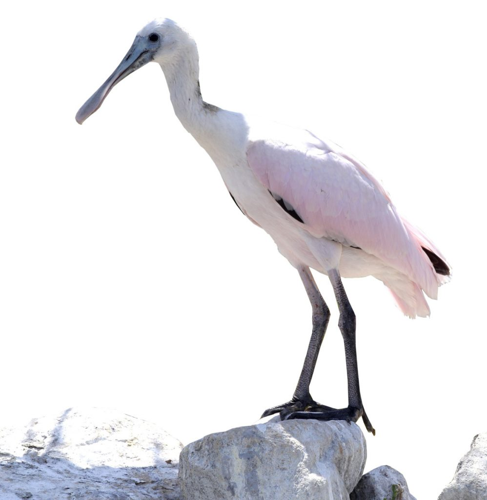 The roseate spoonbill usually hangs out in Texas and Florida, but one made an appearance in Dover-Foxcroft in late August.