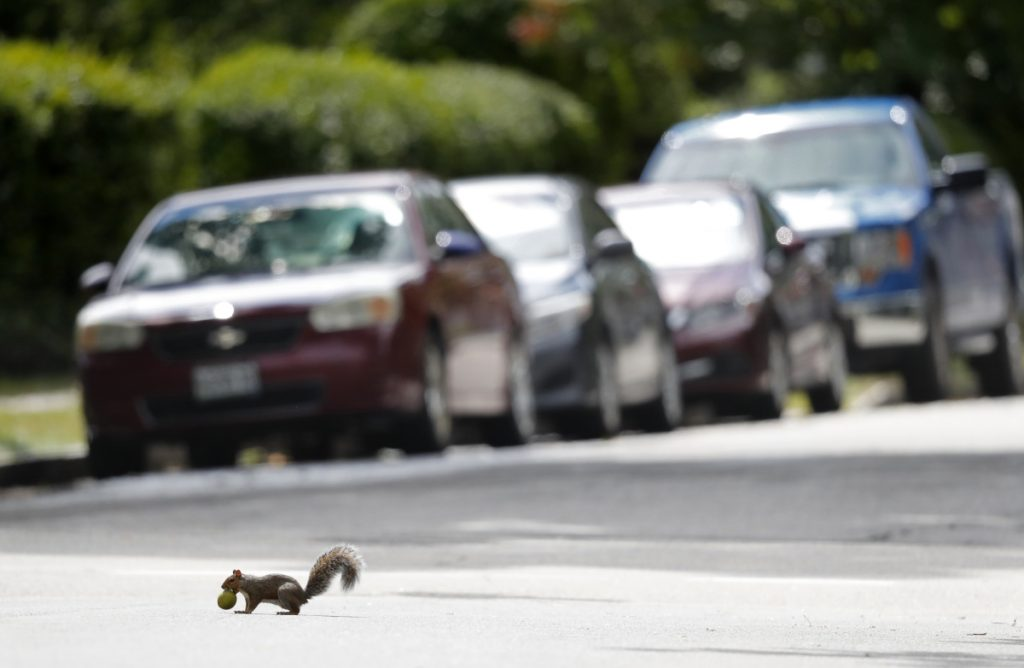 A booming squirrel populations means that the rodents are getting run over in prodigious numbers, suggesting that the culling already has begun.